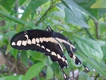 Black Swallowtail Butterfly perched on a plant