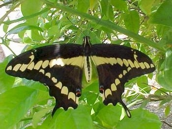 Full View of Black Swallowtail Butterfly wings