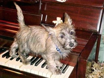 Munchkin the Cairn Terrier is standing on a piano keys and looking toward the camera holder
