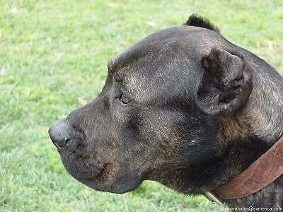 Close Up - Bes the Presa Canario Dog is sitting outside and looking to the left