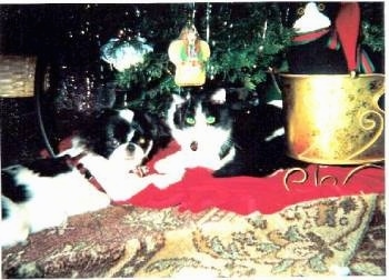 Ruby the black and white cat is laying down next to Godzilla the black and white Japanese Chin under a Christmas tree on a rug