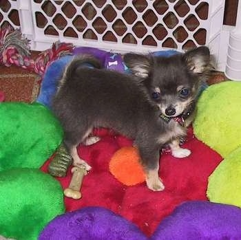 Chihuahua Dog Breed Pictures, 2
