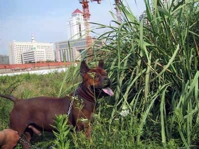 A Chinese Chongqing is standing in front of really tall grass with its mouth open and tongue out. There are large high rise buildings in the background