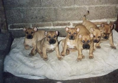 A litter of 6 tan Perro Cimarron puppies are sitting and laying on a blanket in thecorner of a basement that has brick and cinder block walls.