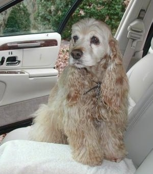 A tan American Cocker Spaniel is sitting inside a car, it is looking to the left and the door behind it is open.