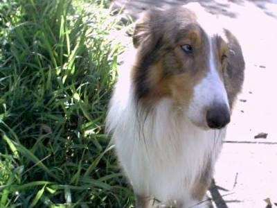 Queeny the Rough Collie is standing next to a sidewalk and large grass. Her ears are back and she is looking to the right with her eyes