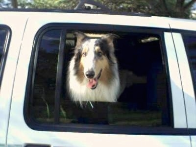 Queeny the Rough Collie is looking out the window of the backseat of a white car. Her mouth is open and her tongue is out