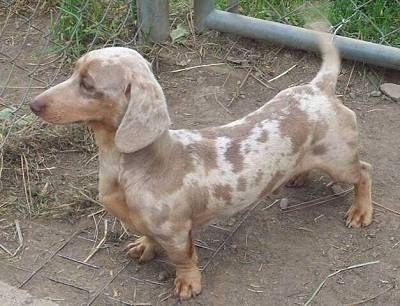 Dachshund Dog Breed Information And