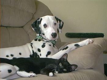A Dalmatian is laying on a tan couch and there is a black cat laying down next to it