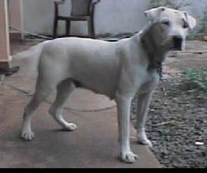 A white Dogue Brasileiro is standing in a backyard on the back porch area. He is looking forward