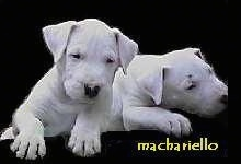 Two Dogue Brasileiro puppies are laying next to each other. The background is cutout and replaced with a black layer. The Words - Machariello - is overlayed in the bottom right