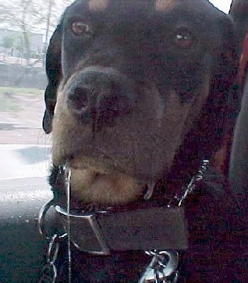 Close Up - Maggie the Rottweiler is in the passenger side of a vehicle and and there is a half inch of drool on the one side of her mouth and very long line of drool that goes out of the picture frame on the other side.