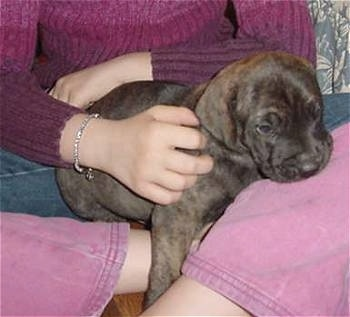 A brown brindle Fila Brasileiro puppy is in the lap of a person wearing a purple and pink sweater and pink pants.