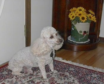 Side view - A white Miniature Poodle is sitting on a throw rug in front of a door. There is a wooden corner cabinet with a tin that has yellow and black flowers inside of it next to the dog.
