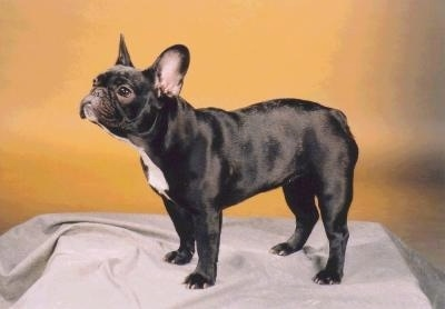 French Bulldog Puppy Dogs - Frenchies