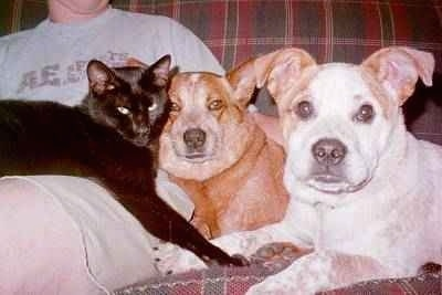 Close Up - A black cat is laying on top of a person, that is next to a red Australian Cattle Dog and a white with brown American Pit Bull on a red and green plaid couch