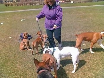 Three brown Boxer puppies are standing next to a lady in a purple coat out in a field of grass. In front of her is a white with brown Valley Bulldog. There is a brrown with white puppy walking away to the right. There is a Shepherd mix standing in front of a brown with white Boxer puppy
