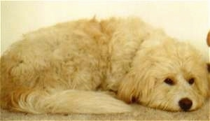 Close Up - A longhaired tan and cream colored German Sheeppoodle is laying down