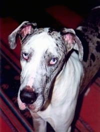 Close Up - A blue-eyed white and gray harlequin Great Dane is standing on a rug and is looking up