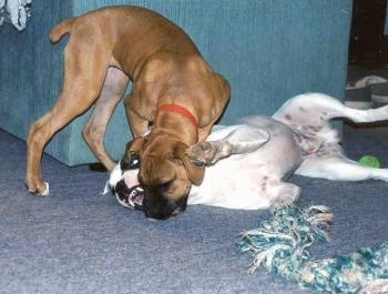 A brown Boxer puppy is playing with a white with brown Valley Bulldog laying in front of a blue chair. There is a rope toy in front of both of them