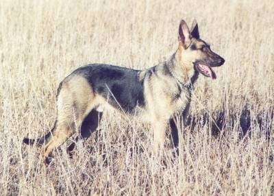 A black and tan German Shepherd is standing in a feild of tall brown grass