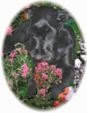 A black Giant Schnauzer is laying in and smelling a bunch of pink flowers.