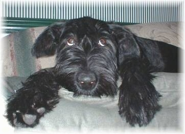 A black Giant Schnauzer Puppy is laying on a couch with its head down looking up showing the whites of its eyes making it look humbled.