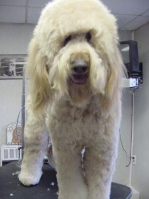 A cream Goldendoodle is standing on a grooming table. Its mouth is open. It looks like it is smiling