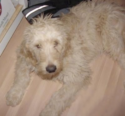 Close Up - A tan Goldendoodle Puppy is laying on a hardwood floor. Behind it is a backpack.