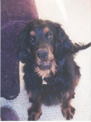A black and tan Gordon Setter is sitting on white carpet in front of a brown arm chair