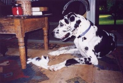 A black and white harlequin Great Dane is laying on a hardwood floor in front of a coffee table. Laying at one of its paws is a white with black kitten