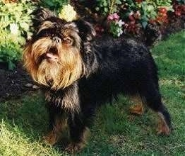 Griffon Bruxellois Dog Picture