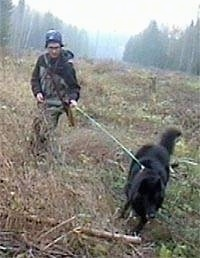 Belgium Shepherd pulling a person through a wooded area