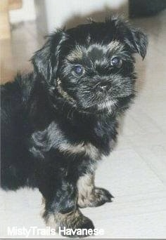 Front upper body shot - A black with tan Havanese puppy is standing on a white tiled floor.