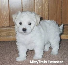 Front side view - A fluffy looking, cute little white Havanese puppy is standing on a carpet and there is wood paneling behind it.