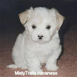 A white Havanese puppy is sitting on a tan carpet