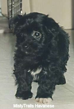 A black with white Havanese puppy is standing on a white tiled floor looking to the left