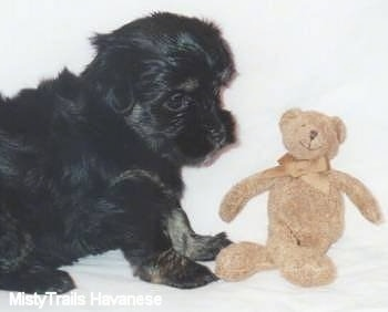 A black Havanese puppy is sitting in front of a brown teddy bear