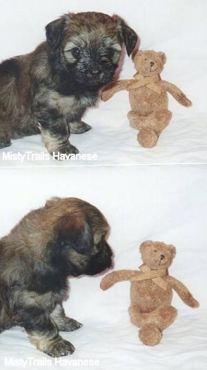 Top photo - A tan with black Havanese puppy is sitting in front of a brown teddy bear. Bottom photo - A tan with black Havanese puppy is looking at the brown Teddy bear