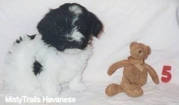 A white with black Havanese puppy is sitting in front of a brown teddy bear. The teddy bear is next to a red number 5