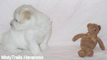 A white with tan Havanese puppy is sitting against a white backdrop and looking behind itself. There is a brown teddy bear in front of it