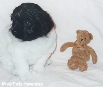 A white with black Havanese is sitting on a white backdrop and looking to the left with a brown Teddy Bear in front of it