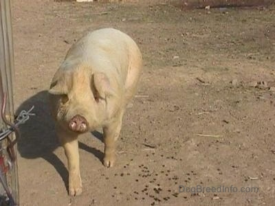 A white hog is walking down dirt looking forward.