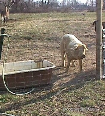 A white hog is looking through a wire fence and it is standing next to an old metal bath tub.
