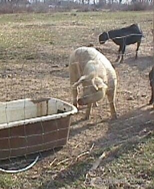 A white Hog is standing outside in dirt and it is looking at the tub next to it. There are two goats in the background.