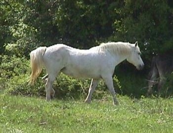 Right Profile - A white Horse is running across a field. It is looking to the right.