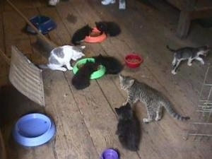 A barn  full of kittens eating food out of bowls