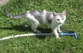Prince Snowball the Kitten is standing in grass over a water hose and looking up
