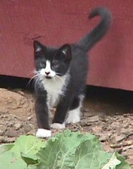 Sylvester the Kitten is walking in dirt in front of a red wooden barn stall door