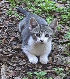 Trouble the gray tiger with white markings kitten is laying outside in woodchips and looking up